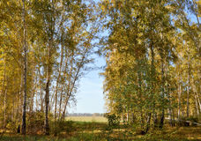 Otoño temprano del paisaje Claro con la hierba y las hojas amarillas en el fondo de la arboleda del abedul del otoño en el campo  Imagenes de archivo