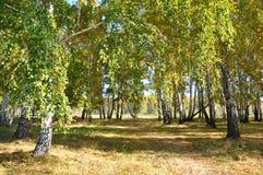 Otoño temprano del paisaje Claro con la hierba y las hojas amarillas en el fondo de los árboles de abedul del otoño iluminados po Imagen de archivo libre de regalías