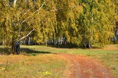 Otoño temprano del paisaje Un campo con un camino de tierra y un abedul de oro al lado de ella, en medio del bosque de oro del ot Imagen de archivo libre de regalías