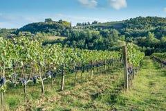 Otoño temprano del viñedo toscano con la fila de uvas Imágenes de archivo libres de regalías