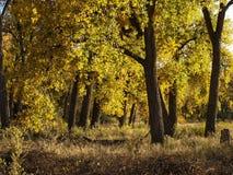 Otoño temprano en el bosque del Cottonwood a lo largo del río Arkansas en Colorado meridional imagenes de archivo