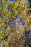 Otoño Tops del abedul del oro contra el cielo azul Foto de archivo libre de regalías