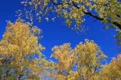 Otoño Tops del abedul y del arce del oro contra el cielo azul Imagen de archivo