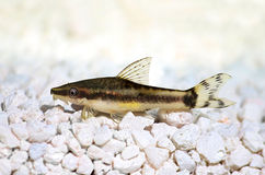Oto Dwarf Suckermouth otocinclus vittatus algae eater catfish Stock Images