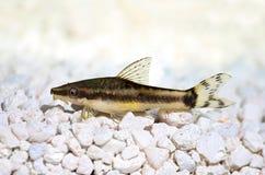 Oto Dwarf Suckermouth otocinclus vittatus algae eater catfish Stock Images