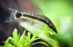 Otocinclus in planted aquarium Royalty Free Stock Photos