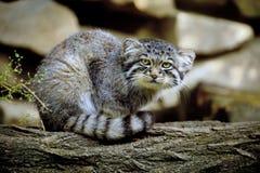 Otocolobus manul, γάτα PallasΣτοκ Εικόνες