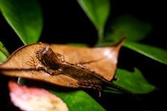 Otocryptis wiegmanni - Brown-patched Kangaroo lizard Stock Image