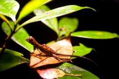 Otocryptis wiegmanni - Brown-patched Kangaroo lizard Stock Photo