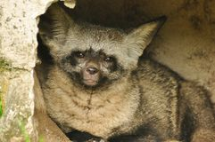 Otocyon or Bat-eared fox Stock Photo