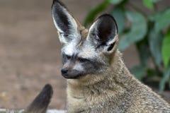 Otocyon Megalotis, Bat-eared fox. Stock Images