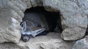 Otocyon megalotis sleeping on a ground.Two bat eared fox resting.  stock footage