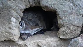 Otocyon megalotis som sover på en jordning Två slagträ gå i ax vila för räv arkivfilmer