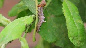 Otoczaka ćma wybitna gąsienica, Notodonta ziczac, odprowadzenie, łasowanie wzdłuż wierzbowego liścia podczas Lipa zbiory wideo