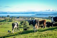 Otoczenia Jeziorny Taupo z krowami w przedpolu Zdjęcia Stock