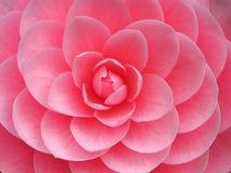 Otometsubaki lub Tsubaki kwiat Ccamellia Japonica zdjęcie royalty free