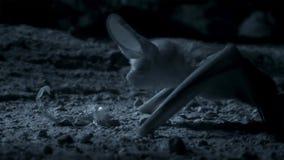 Otonycteris,沙漠长耳的球棒,在狩猎在黑暗,以色列的Neqev沙漠中 免版税库存图片
