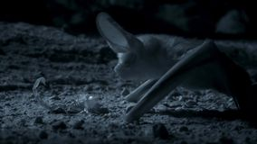 Otonycteris, l'oreillard de désert, est sur la chasse dans l'obscurité, le désert du Néguev de l'Israël image libre de droits