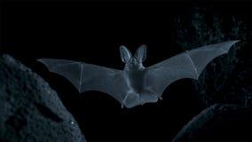 Otonycteris pustynny długouchy nietoperz, jest na polowaniu w ciemności, Izrael pustynia negew zdjęcie stock