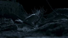 Otonycteris pustynny długouchy nietoperz, jest na polowaniu w ciemności, Izrael pustynia negew zdjęcia stock