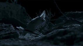 Otonycteris pustynny długouchy nietoperz, jest na polowaniu w ciemności, Izrael pustynia negew obraz stock