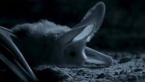 Otonycteris pustynny długouchy nietoperz, jest na polowaniu w ciemności, Izrael pustynia negew fotografia stock