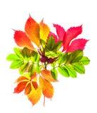 Otoño rojo y hojas amarillas aisladas en el fondo blanco Fotos de archivo libres de regalías