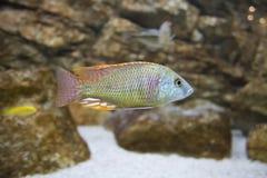 Aquarium fish Stock Photos