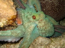 Otopus Night diving Stock Photography