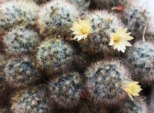 Otpryskonosnaya de Mammilyariya Floración del cactus Imagen de archivo libre de regalías