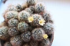 Otpryskonosnaya floreciente de Mammilyariya del cactus Foto de archivo libre de regalías