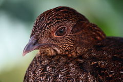 Otragopan Bird Stock Photography