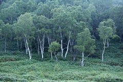 Ottalandskap av skogen för vit björk Royaltyfri Bild