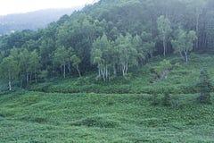 Ottalandskap av skogen för vit björk Royaltyfri Fotografi
