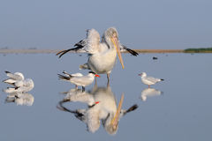 Ottauppvaknande av den Dalmatian pelikan Royaltyfri Bild