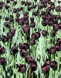 Ottawa Black tulips May 2008 Royalty Free Stock Photo