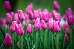 Ottawa Tulip Festival 2013 Fotos de archivo