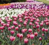 Ottawa Tulip Festival Fotografia de Stock Royalty Free