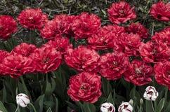 Ottawa Tulip Festival fotos de stock royalty free