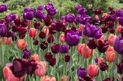 Ottawa Tulip Festival Imagem de Stock