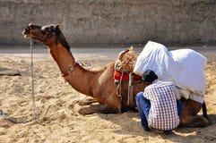 Ottenendo un cammello pronto in Pushkar, l'India Fotografia Stock Libera da Diritti