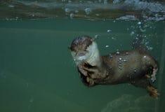 Otter 1 Stockbild