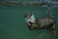 Otter 1 stock afbeelding