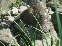 Otter 1 Lizenzfreie Stockfotos