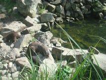 Otter 2 Lizenzfreie Stockfotos