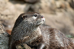 Otter. Close-up photo of a wet otter Royalty Free Stock Images