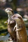Otter Stockfotos