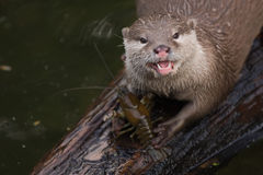 Free Otter Royalty Free Stock Photo - 11285695