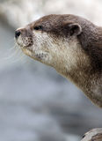 Otter Stock Photos