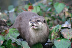Otter. An otter on a river bank Royalty Free Stock Photography